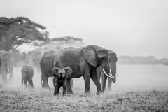 Elephant with baby. Elephant family traveling in Amboseli National Park stock images