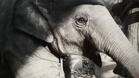 Elephant Baby. Happy Elephant baby black and white royalty free stock images