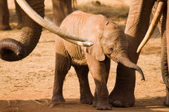 Elephant baby Royalty Free Stock Image