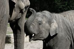 Elephant Baby and Mother Royalty Free Stock Image