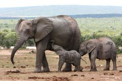 Elephant Baby and Mother Stock Photos