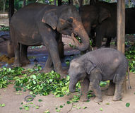 Elephant baby with mother eating Royalty Free Stock Photography
