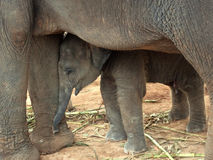 Elephant baby. Between mother's legs royalty free stock photo