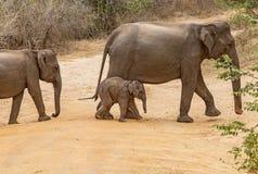 Mom Elephant with Baby in Sri Lanka. Elephant with Baby in national park Udawalawe Sri Lanka. Safari with jeep royalty free stock photography