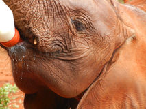 Elephant baby is feeding from the bottle Royalty Free Stock Photos