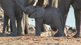 Elephant Baby Playing, Okaukuejo Waterhole, Etosha