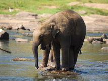 Elephant baby in river Stock Photo