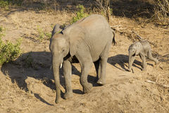 Elephant with baby, South Africa. African Elephant female(Loxodonta africana) with baby, Kruger Park, South Africa Stock Photos