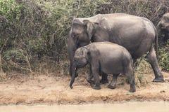 Elephant with Baby in Sri Lanka. Elephant with Baby in national park Udawalawe Sri Lanka. Safari with jeep royalty free stock photography