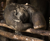 Elephant baby. In Thailand Asia Royalty Free Stock Image