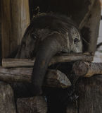 Elephant baby. In Thailand Asia Royalty Free Stock Photo