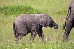 Elephant baby trailing its mother, Kenya Stock Photos