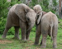 Elephant Baby Twins Stock Photography