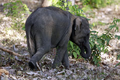 Elephant. Baby elephant is walking alone  in the forest Stock Photography