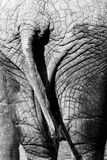 Elephant back detail skin black and white Stock Photography
