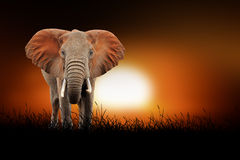 Elephant on the background of sunset Royalty Free Stock Images