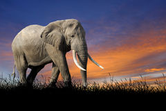Elephant on the background of sunset sky Stock Image