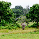 Elephant is backing to the sparse forest Royalty Free Stock Image