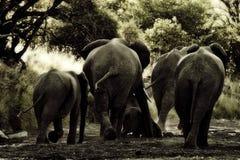 Elephant backs Stock Photography