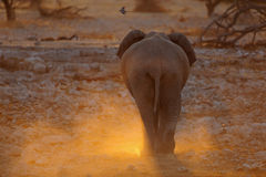 Elephant from the backside stock photography