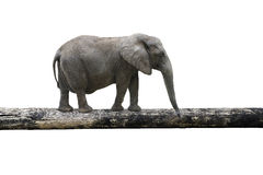 Elephant balancing on tree trunk Stock Photos
