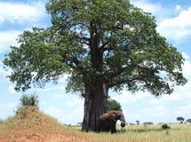 Elephant and Baobab Tree Royalty Free Stock Images