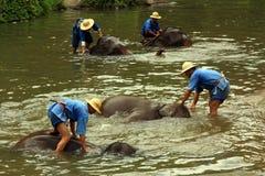 Elephant Bath Royalty Free Stock Image