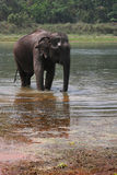 Elephant at bath Royalty Free Stock Photography