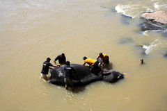 Elephant Bath. An elephant bathes in the river at Pinnawala, mahouts scrape the skin with the husks of coconuts Stock Photos