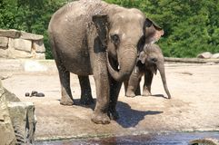 Elephant bath joke 1. Little indian elephant baby with her dam by bath joke; baby is born at march 2006 in zoo (tierpark) berlin; shooting date: june 2006 royalty free stock images
