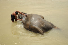 Elephant bath, NP Chitwan, Nepal Stock Images