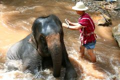 Elephant bathing. Elephant being bathed by its handler, Thailand Stock Images