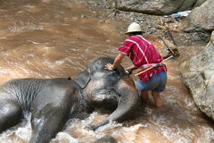 Elephant bathing. Elephant being bathed by its handler, Thailand Royalty Free Stock Photo
