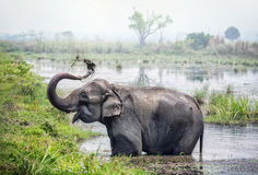 Elephant Bathing In Nepal Stock Image