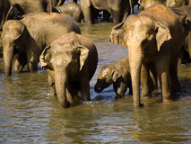 Elephant bathing at the orphanage Stock Image