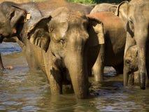 Elephant bathing at the orphanage Stock Photography