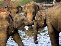 Elephant bathing at the orphanage Stock Image