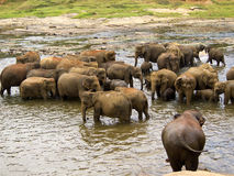 Elephant bathing at the orphanage Stock Photography