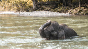 Elephant bathing in river. Elephant in the river with his trunk against his head having an awesome time being an elephant Stock Photos