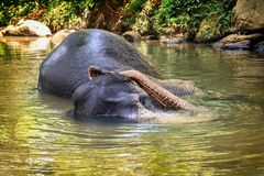 Elephant bathing in a river among the rainforest stock photography