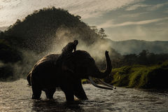 Elephant bathing. In the river and spraying himself with water Royalty Free Stock Photography