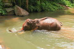 Elephant bathing in a river Stock Photos