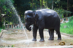 Elephant bathing and splashing water on itself Royalty Free Stock Photo