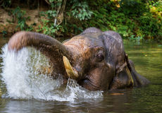Elephant bathing in tropical lake. Young indian elephant bathing. Lake in tropical rainforest Royalty Free Stock Image