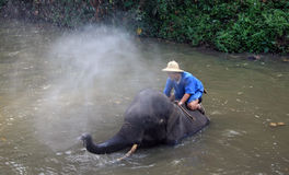 Elephant bathtime. An Elephant spraying  his Mahout with water in the river at Lampang Elephant Sanctuary, Northern Thailand Stock Photo