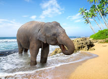 Elephant on the beach Royalty Free Stock Image