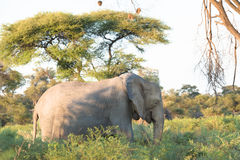Elephant in beautiful African landscape Royalty Free Stock Image