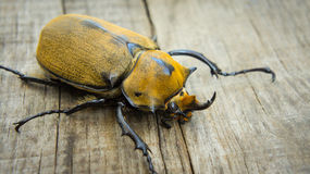 Elephant Beetle. A close up of an Elephant Beetle on wood background Royalty Free Stock Images