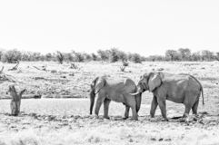 African elephant pushing with its trunk against another elephant. Monochrome royalty free stock photo