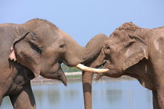 Elephant behavior Stock Image